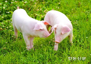 """""""돼지 코로나19 위험성 과장됐다…국내 양돈장 안심"""""""